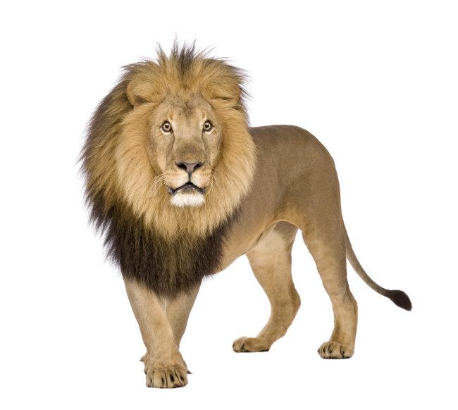 狮子 动物 雄狮 万兽之王