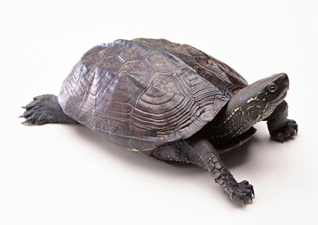千图网提供精美好看的图片素材免费下载,本次图片作品是关于动植物图片素材,主题是乌龟 爬行动物 动物 图片,编号是952443,格式是jpg,建议使用对应的软件打开件打开,该动植物图片素材大小是563.932 KB,尺寸为2950x2094。 乌龟 爬行动物 动物 图片是由图片设计师傻瓜不傻上传.