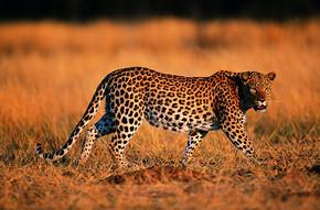 稀有动物 动物 豹子 老虎图片