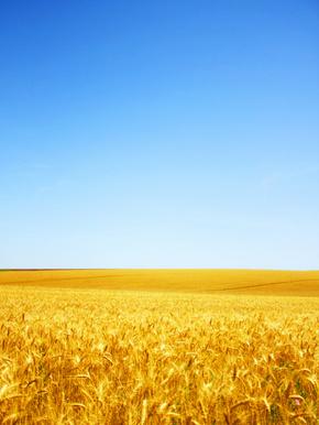 蓝天麦穗摄影图片素材
