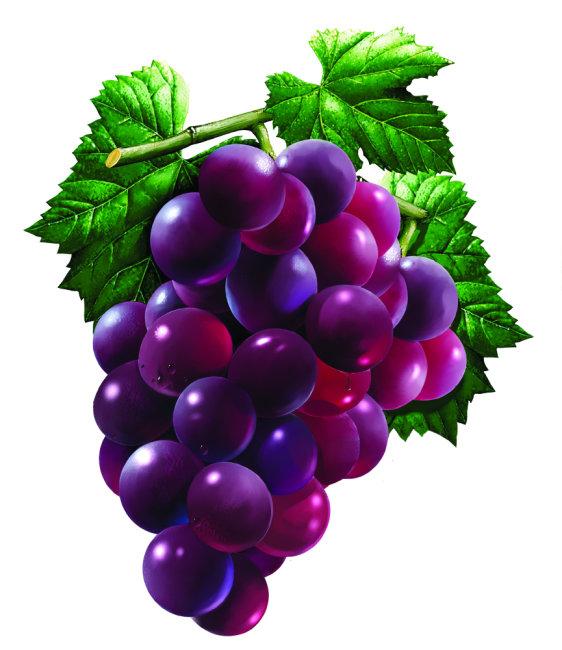 手绘 紫葡萄 绿叶
