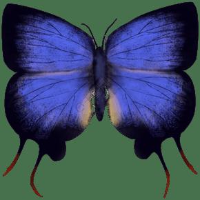 昆虫蝴蝶赫威森氏蓝
