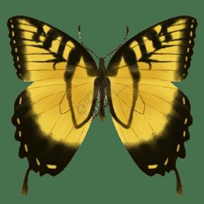 昆虫蝴蝶虎凤