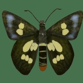 昆虫蝴蝶澳弄蝶