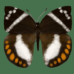 昆虫蝴蝶蔗蝶