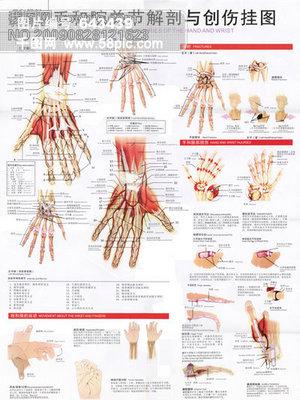 免费下载 手和腕关节解剖图素材 手和腕关节解剖图模板 千图网